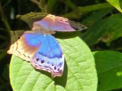 Salamis butterfly